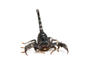 Close up of black scorpion in white background. Royalty Free Stock Photo