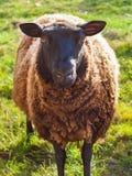 Close-up of a black sheep looking into the camera. Asturias stock photos