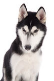 Close up of Black siberian husky Stock Images