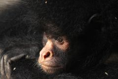 Close up of a Black spider monkey Stock Photo