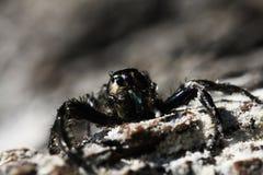 Close up black spider Stock Photos