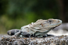 Close-up of a Black Spiny-tailed Iguana Royalty Free Stock Image