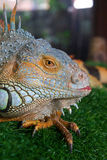 Close up of a Black spiny-tailed iguana portrait (Ctenosaura sim Stock Image