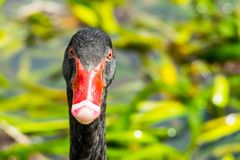 Close up of black swan stock photo