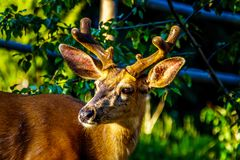 Close Up of a Black Tailed Deer in the alpine village of Sun Peaks in the Shuswap Highlands stock image
