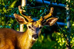 Close Up of a Black Tailed Deer in the alpine village of Sun Peaks in the Shuswap Highlands. Of British Columbia, Canada royalty free stock image