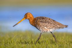 Close up of Black tailed Godwit wading through wetland Stock Photography