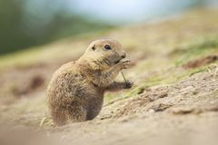 Black-tailed prairie dog Cynomys ludovicianus eating vegtables Stock Photography