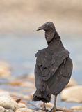 Close-up of the Black Vulture Royalty Free Stock Image