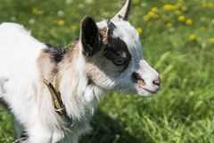 Close up black and white baby goat on a chain against grass flowers on a background. White ridiculous kid is grazed on a. Farm, on a green grass. Animal Royalty Free Stock Images