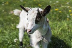 Close up black and white baby goat on a chain against grass flowers on a background. White ridiculous kid is grazed on a. Farm, on a green grass. Animal Stock Image