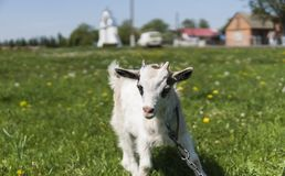Close up black and white baby goat on a chain against grass flowers building on a background. White ridiculous kid is. Grazed on a farm, on a green grass Royalty Free Stock Photos