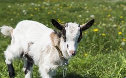 Close up black and white baby goat on a chain against grass flowers building on a background. White ridiculous kid is. Grazed on a farm, on a green grass Royalty Free Stock Photo