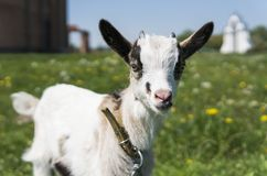 Close up black and white baby goat on a chain against grass flowers building on a background. White ridiculous kid is. Grazed on a farm, on a green grass Royalty Free Stock Images