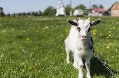 Close up black and white baby goat on a chain against grass flowers building on a background. White ridiculous kid is. Grazed on a farm, on a green grass Royalty Free Stock Photography