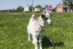 Close up black and white baby goat on a chain against grass flowers building on a background. White ridiculous kid is. Grazed on a farm, on a green grass Stock Images