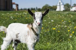 Close up black and white baby goat on a chain against grass flowers building on a background. White ridiculous kid is. Grazed on a farm, on a green grass Stock Photo
