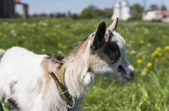 Close up black and white baby goat on a chain against grass flowers building on a background. White ridiculous kid is. Grazed on a farm, on a green grass Stock Photography