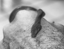 Close up black and white Bevel Nosed Boa Snake on Hand. Close up black and white image of bevel nosed boa snake resting on hand royalty free stock images