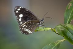 Close up of butterfly on a leaf. Close up of black and white butterfly on a leaf stock photos