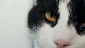Close-up of black and white cat falling asleep.