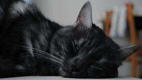 Close-up of black and white cat falling asleep. Concept. Beautiful cat lies and falls asleep looking at camera with
