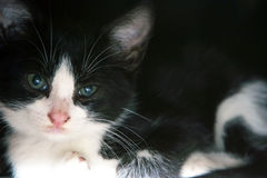 Close up of black and white cat Royalty Free Stock Photography