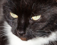 Close Up of Black and White Cat's Head Royalty Free Stock Photos