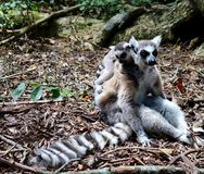 Lemur mom and pup. Close up of a black and white lemur monkey mother and baby on her back from Madagascar, Africa Stock Images