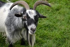Close-up of black and white long-haired goat. Goat with large curved horns looking at camera Royalty Free Stock Photography