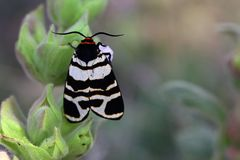 Black and white moth on flower. A close up of a black and white moth on a green plant stock photo