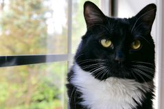 Close up of tuxedo cat looking at the camera. Close up of black and white tuxedo cat sitting in a window sill and looking at the camera Royalty Free Stock Photos
