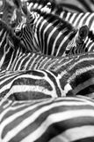 Close up of the black and white zebra stripes Stock Image