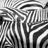 Close up of the black and white zebra stripes Royalty Free Stock Photo