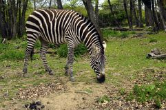 Black and white Zebra in zoo, France Stock Images