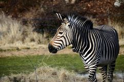Black and white Zebra in zoo, France Royalty Free Stock Photography