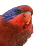 Close-up of a Black-winged Lory Royalty Free Stock Image
