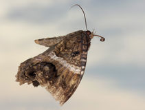 A Close Up of a Black Witch Moth Stock Images