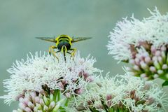 Close up of a Black and Yellow Hoverfly feeding on nectar on white flowers in the garden royalty free stock photos