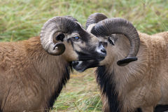 Close up of blackbellied sheep. Royalty Free Stock Photos