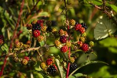 Close up of blackberries on the bush stock photo