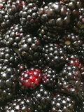 Close up of blackberries. A punet of Blackberries stock photo