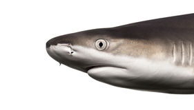 Close-up of a Blacktip reef shark's profile Stock Photography