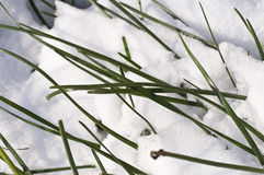 Close up of blades of grass under the snow Stock Photos