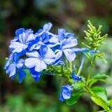 Close-up blauwe mandarin bloemen stock afbeeldingen