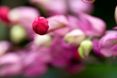 Close up Bleeding heart flower Flaming bower Royalty Free Stock Image