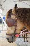 Close up blind horse commander Stock Photography
