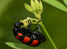 Close up of a blister beetle royalty free stock image