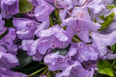 Close-up bloeiende rododendrons Stock Foto