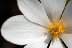 Close Up Bloodroot Stock Image